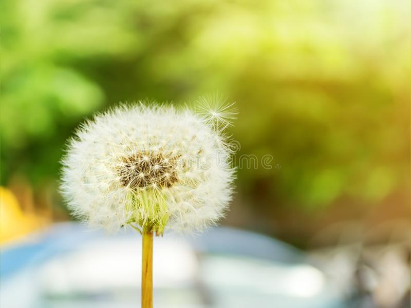 White blowball or dandelion seed head on a blurred urban background on a sunny summer day. Yellow flowers of meadows and lawns royalty free stock image