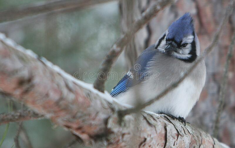 White Blue and Black Bird on Brown Tree Branch stock photos