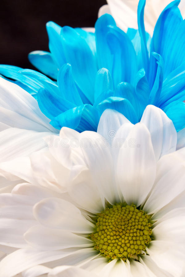 White and Blue Gerber Daisy royalty free stock photos