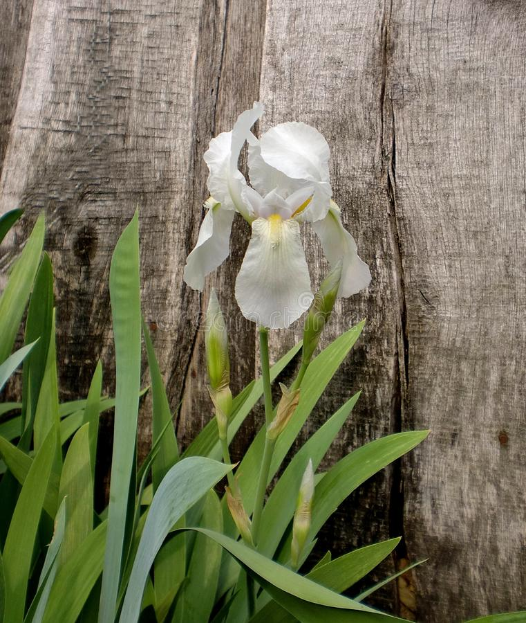 White-blue iris flower stock images