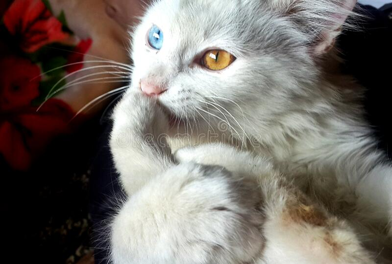 White Blue and Orange Eyed Cat royalty free stock photography