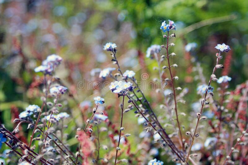 White and Blue Petal Flowers in a Garden during Day Time royalty free stock image