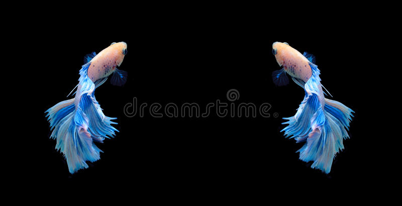 White and blue siamese fighting fish, betta fish isolated on bla stock images
