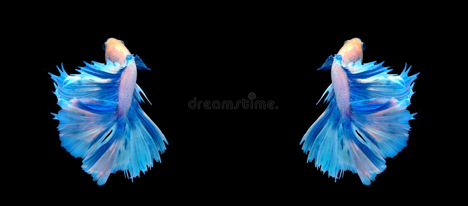 White and blue siamese fighting fish, betta fish isolated on bla. Ck background royalty free stock images