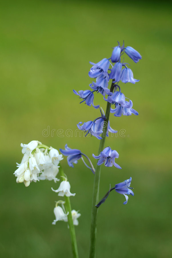 White and bluebells stock photo