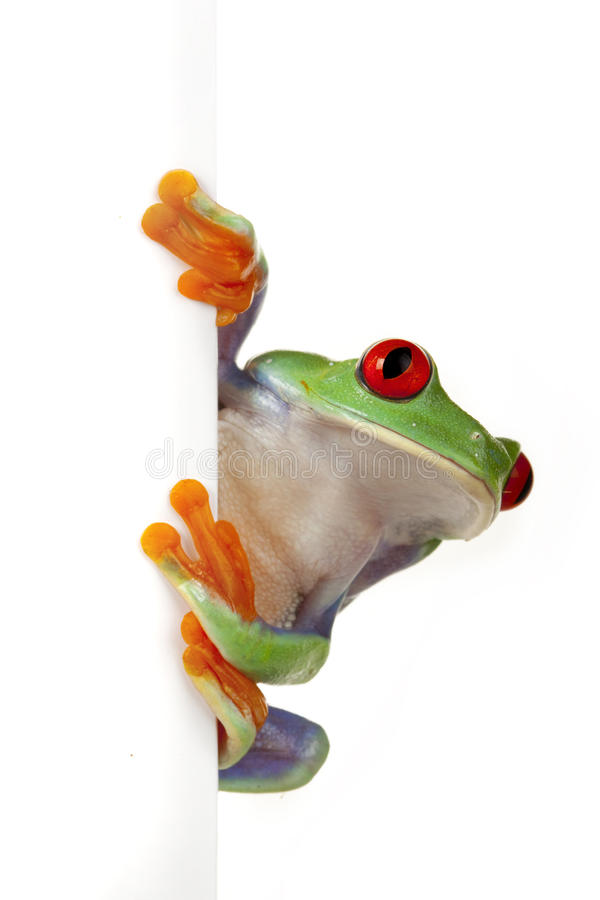 Download White Board Frog stock image. Image of eyed, redeyed - 12530987