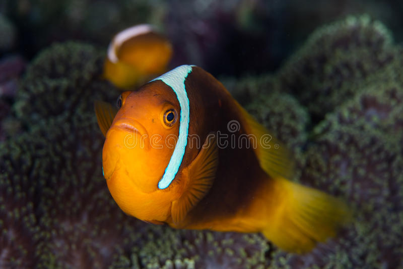 White Bonnet Anemonefish. A White bonnet anemonefish Amphiprion leucokranos swims near its host anemone in the Solomon Islands royalty free stock images