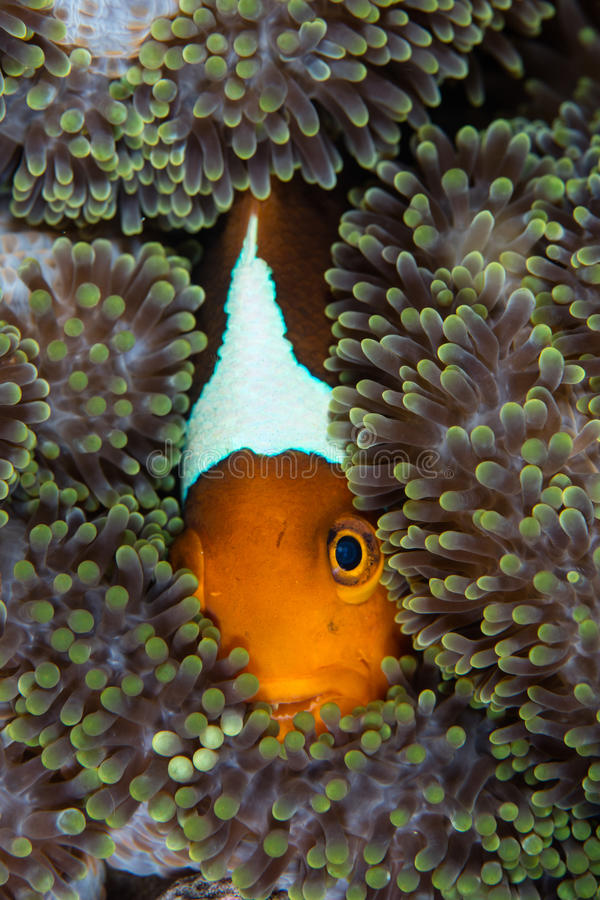 White Bonnet Anemonefish and Anemone. A White bonnet anemonefish, Amphiprion leucokranos, swims within the tentacles of its host anemone in the Solomon Islands royalty free stock photos