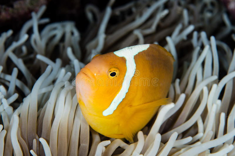 White Bonnet Anemonefish and Anemone. A White bonnet anemonefish, Amphiprion luecokranos, swims within the tentacles of its host anemone in the Solomon Islands royalty free stock photography