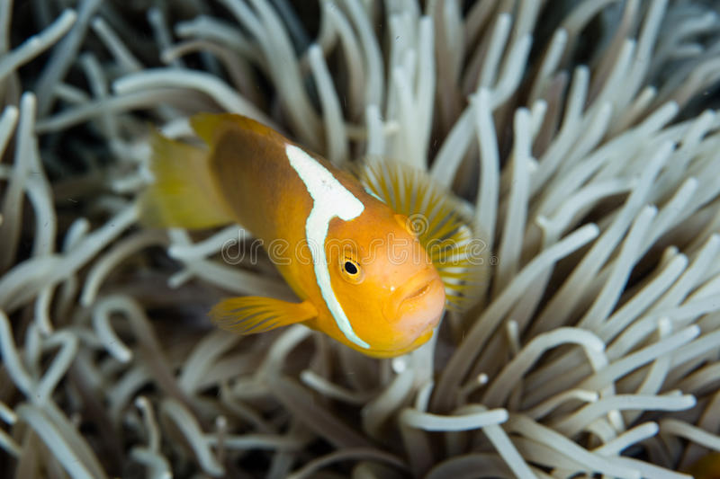 White Bonnet Anemonefish and Anemone Tentacles. A White bonnet anemonefish, Amphiprion luecokranos, swims within the tentacles of its host anemone in the Solomon royalty free stock image