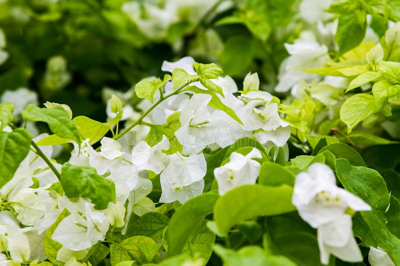White Bougainvillea thorny ornamental vines. Bushes, and trees with flower-like spring leaves near its flowers stock photography