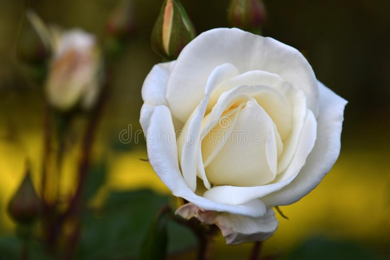 White Bouquet Rosebud 02. Fluffy creamy white petaled adorn this White Bouquet variety Rose flower royalty free stock image