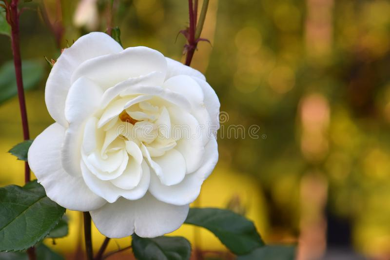 White Bouquet Rosebud 02. Fluffy creamy white petaled adorn this White Bouquet variety Rose flower royalty free stock images
