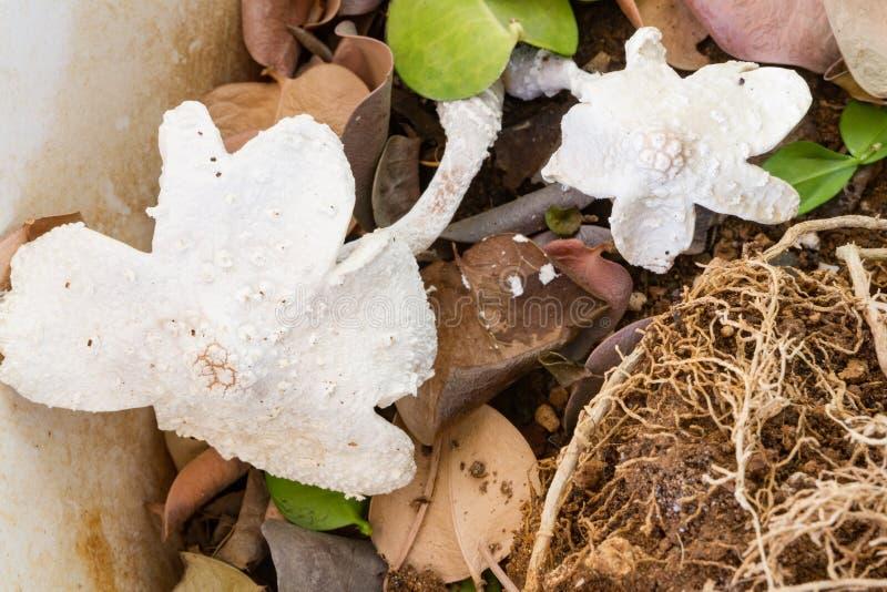 White bracket fungi. In a flower pot royalty free stock photo