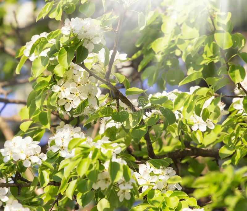 White bradford callery pear tree blossoms at spring sunny day. White bradford callery pear tree blossoms stock images