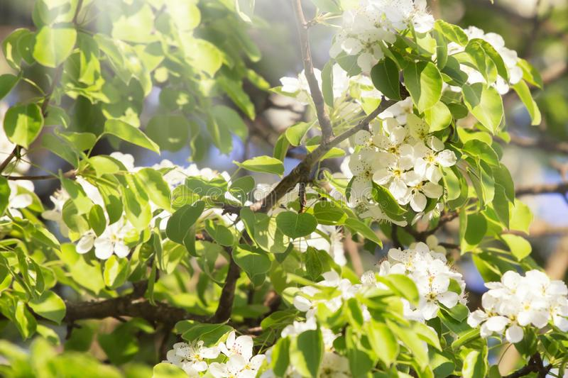 White bradford callery pear tree blossoms at spring sunny day. White bradford callery pear tree blossoms stock photos