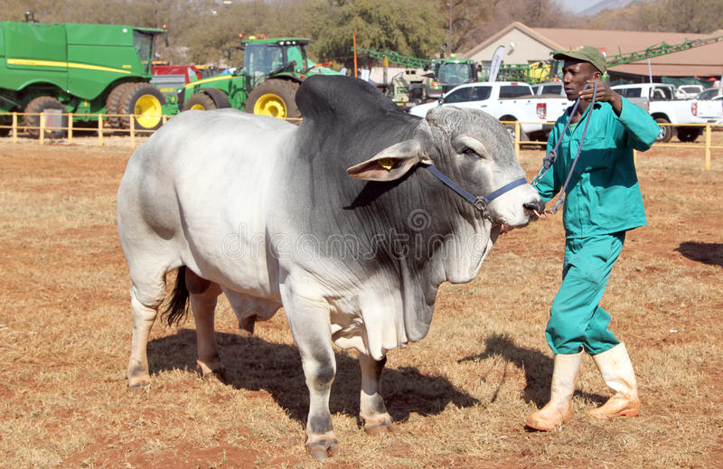 White Brahman bull lead by handler photo. THABAZIMBI, SOUTH AFRICA - August 1: Cattle Breeders Championship at Thabazimbi Show, on August 1, 2014 at Thabazimbi royalty free stock photo