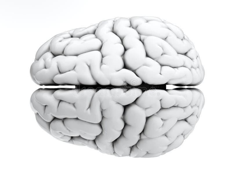 White brain royalty free illustration