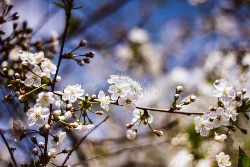 White branch of a flowering Apple tree against the blue sky. Delicate Apple blossoms. Flowering garden trees stock photo