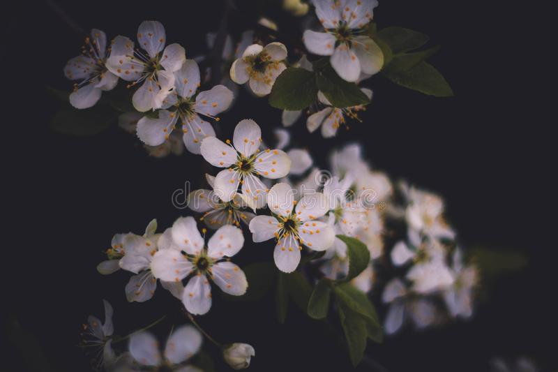 White branch of a flowering Apple tree on a dark background. Apple flowers close-up. The cherry blossoms on a black background stock images