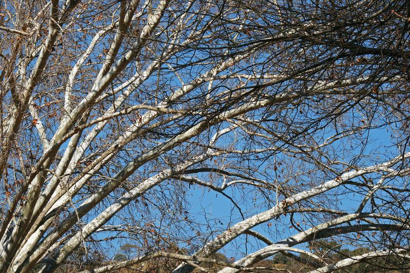 WHITE BRANCHES OF PLANE TREE IN WINTER stock images
