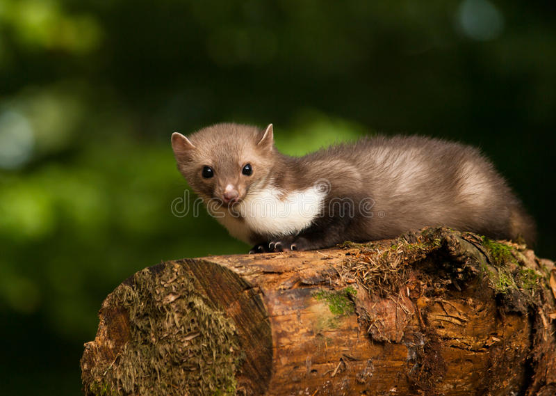 White brasted marten lying on wood - Martes foina stock image
