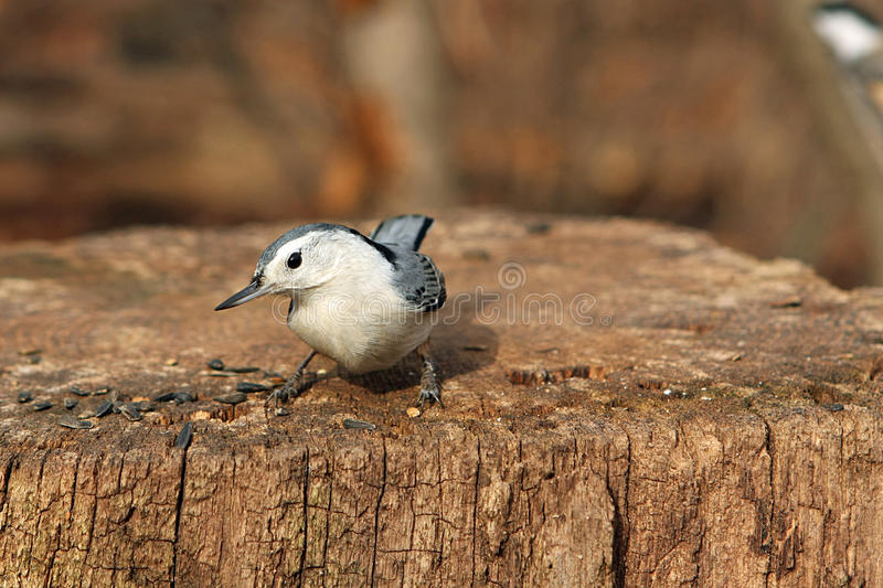 Download White-breasted Nuthatch stock image. Image of close, birds - 11933429