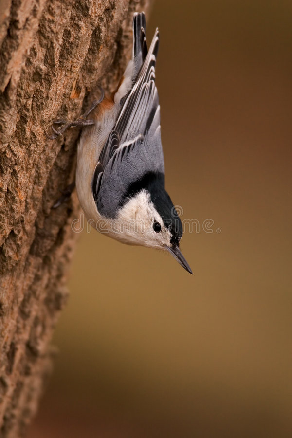 White Breasted Nuthatch royalty free stock images