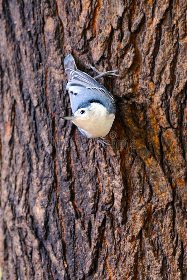 Download White-Breasted Nuthatch stock image. Image of nuthatch - 18860465