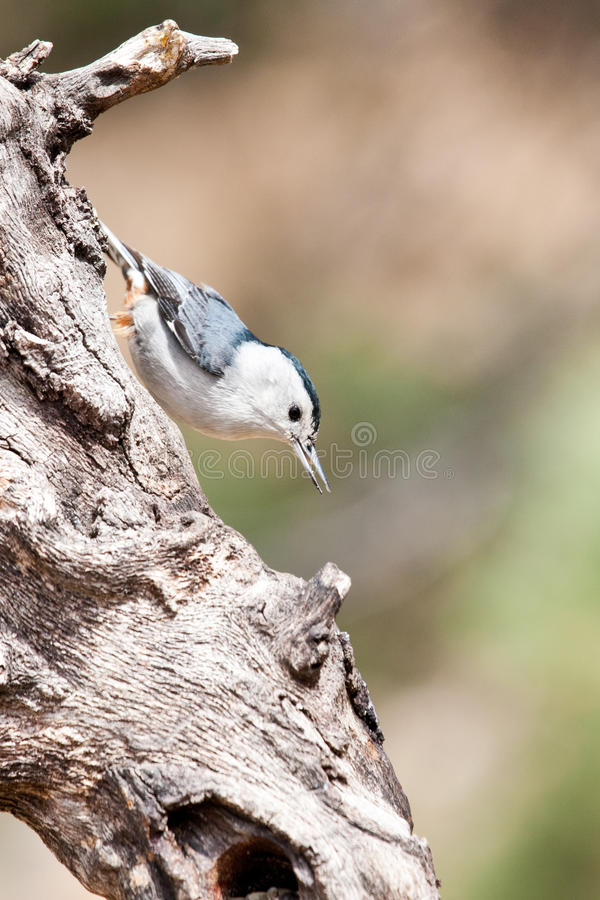 Download White Breasted Nuthatch stock image. Image of perching - 19247139