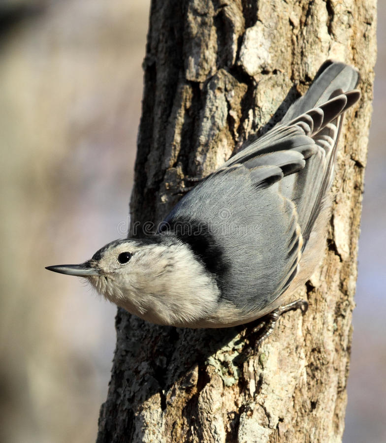Download White-breasted Nuthatch stock image. Image of watching - 22544079