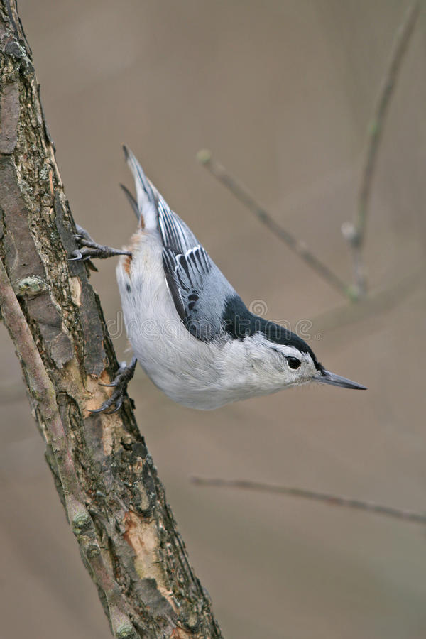 Download White Breasted Nuthatch Stock Photo - Image: 9485500