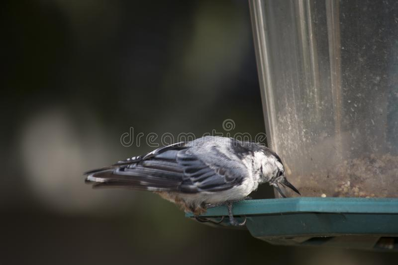 White breasted nuthatch on a backyard Bird feeder. A white breasted nuthatch on a backyard Bird feeder eating seeds stock photography