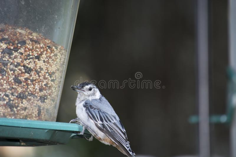 White breasted nuthatch on a backyard Bird feeder. A white breasted nuthatch on a backyard Bird feeder eating seeds stock images