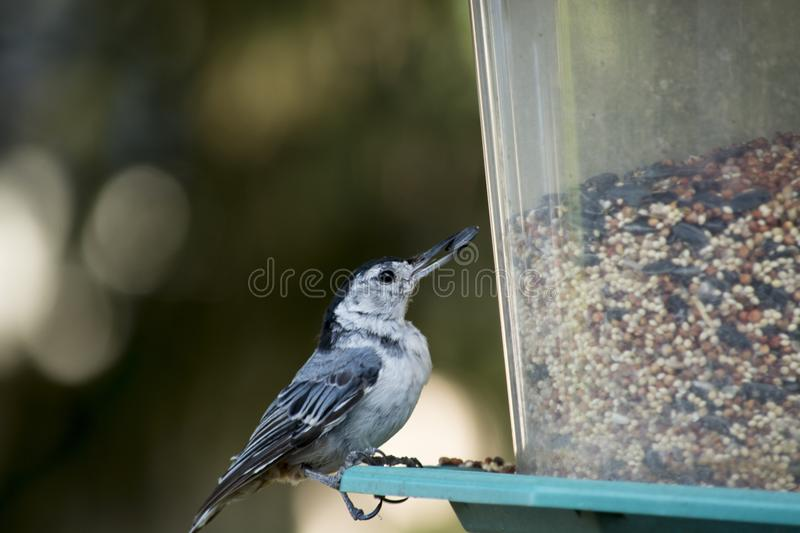 White breasted nuthatch on a backyard Bird feeder. A white breasted nuthatch on a backyard Bird feeder eating seeds royalty free stock photo