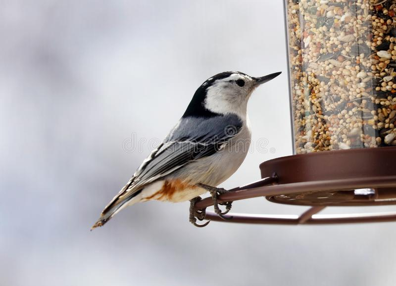 White-breasted Nuthatch beautiful colorful bird eating seeds from a bird seed feeder during summer in Michigan. Pretty avian with yellow, grey, white and black stock images