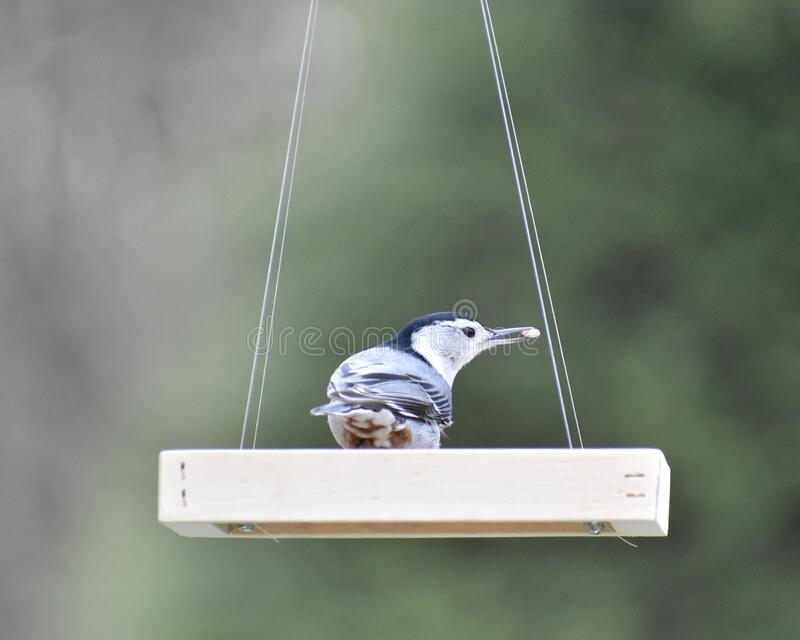 White breasted nuthatch stock photos