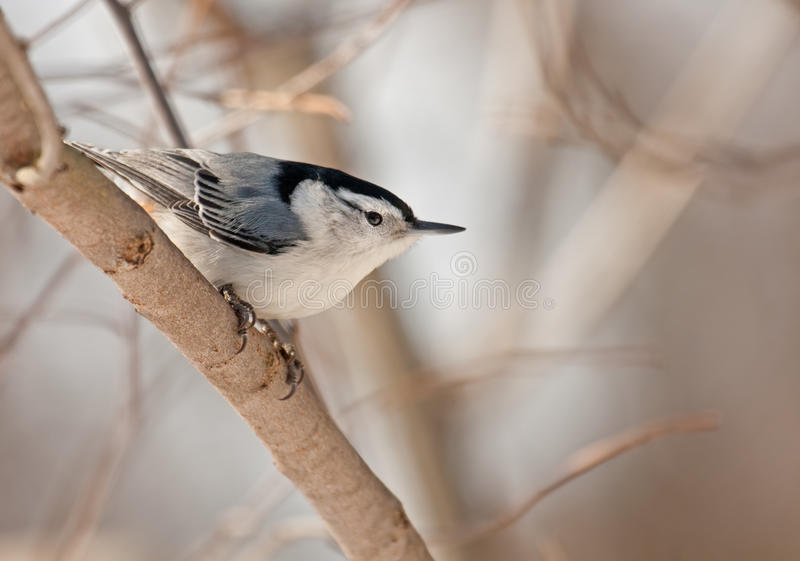 Download White-breasted Nuthatch (Sitta Carolinensis) Stock Photo - Image: 12854516
