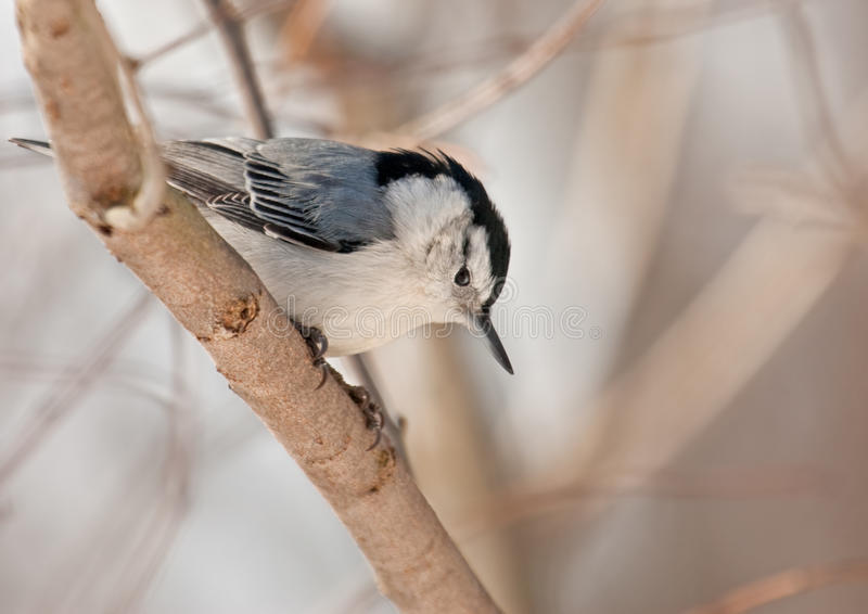 White-breasted Nuthatch, Sitta Carolinensis Stock Photos