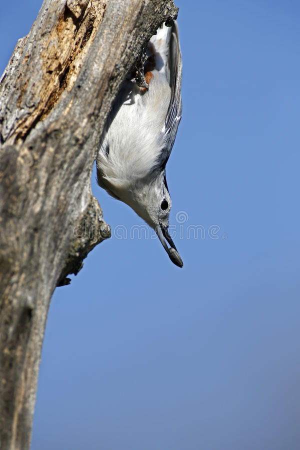 Download White-breasted Nuthatch (Sitta Carolinensis) Royalty Free Stock Images - Image: 27020369