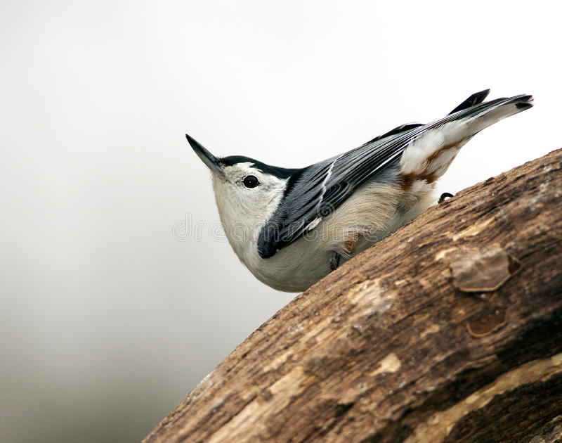 Download White-breasted Nuthatch (Sitta Carolinensis) Stock Photo - Image: 28337764