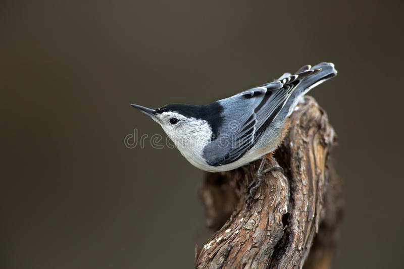 Download White-breasted Nuthatch (Sitta Carolinensis) Stock Photo - Image: 28337770