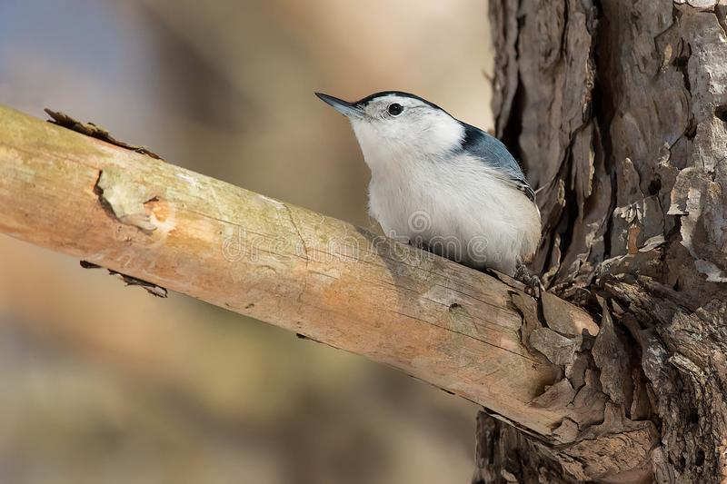 White-breasted Nuthatch - Sitta carolinensis royalty free stock photos