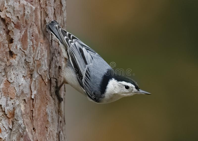 White-breasted Nuthatch Sitta carolinensis perched on a red pine tree stock photo