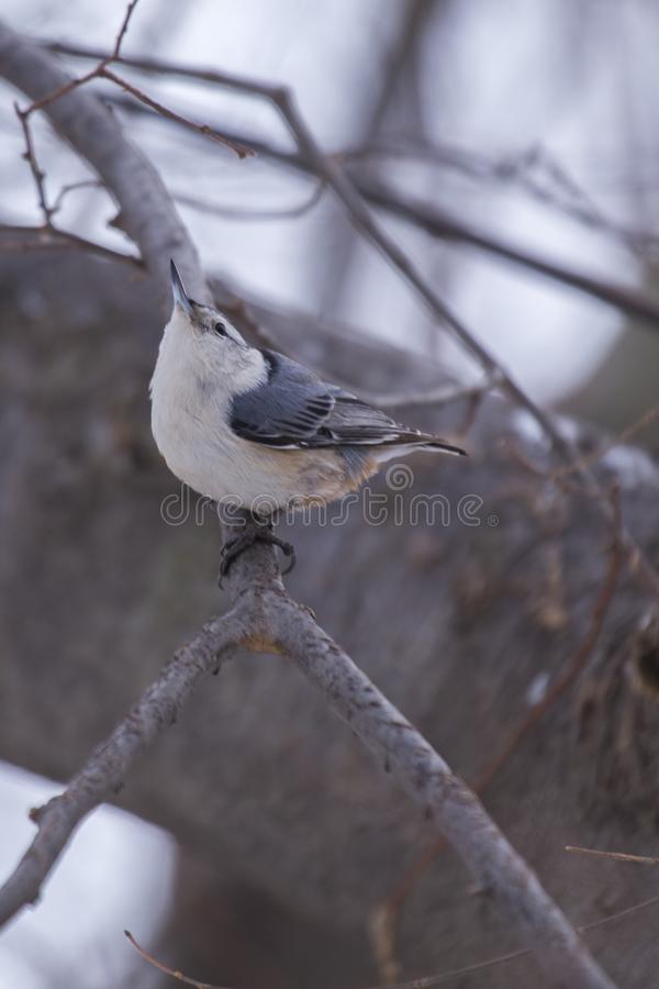 White Breasted Nuthatch (Sitta carolinensis) royalty free stock photos