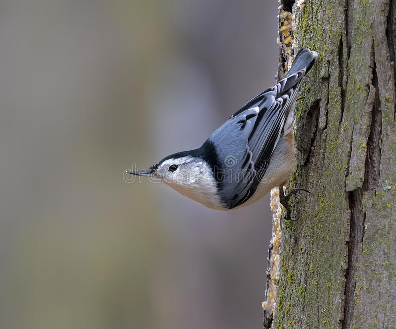White-breasted Nuthatch Sitta Carolinensis stock photos