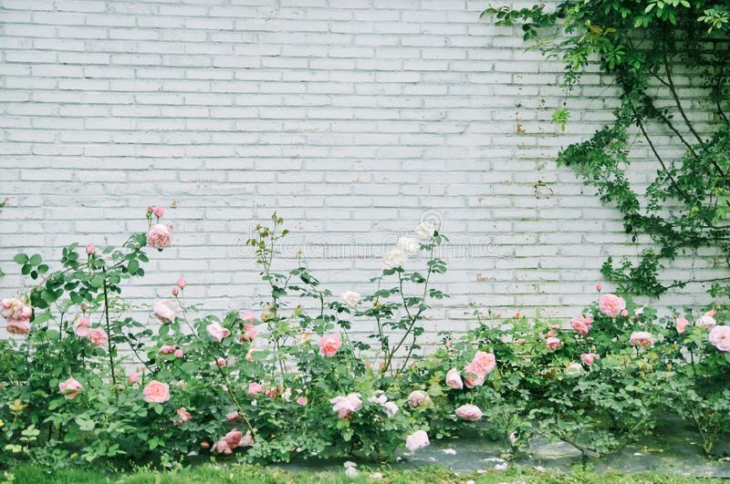 White brick wall with some roses. Seamless photo texture royalty free stock image