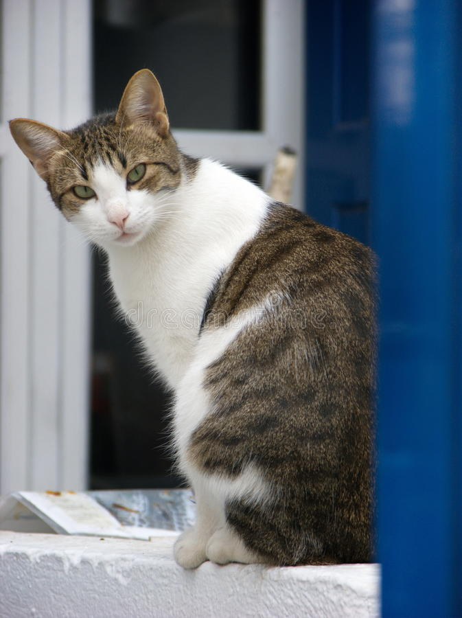 White brindle cat sitting at the blue window and watching stock photos