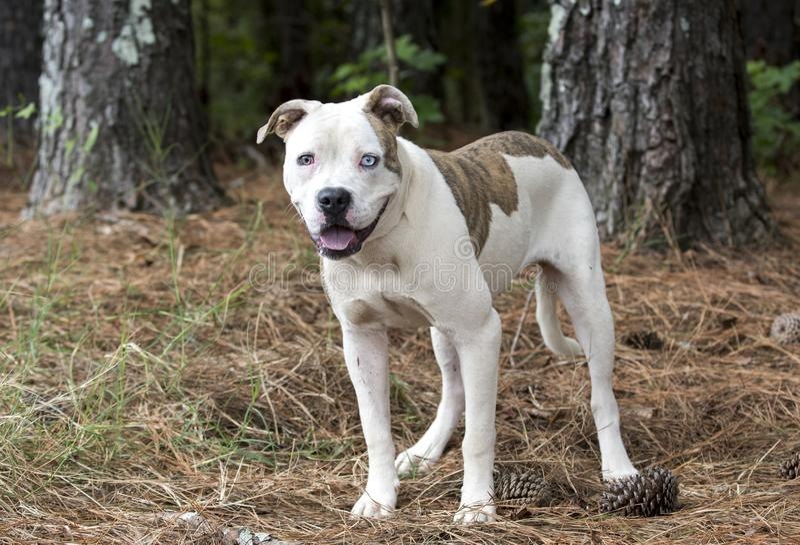 American Bulldog Pitbull mix dog with one blue eye stock image