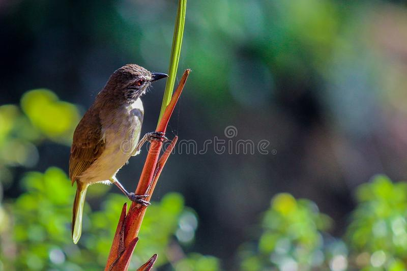 White browed bulbul bird at sinharaja. Rain forest. The white-browed bulbul is a member of the bulbul family of passerine birds. It is a resident breeder in Sri stock photography